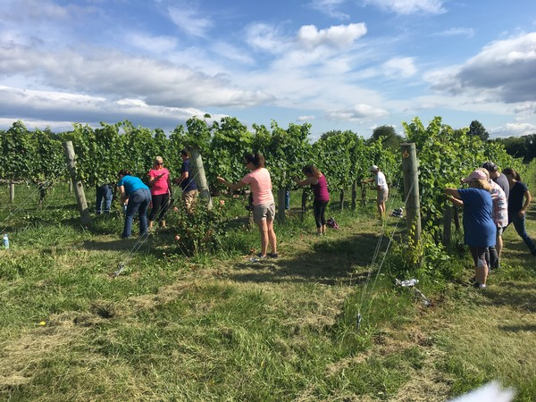 Sunset Hills Vineyard - Blog - Canopy Management in the Vineyard